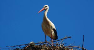 A white stork on its nest
